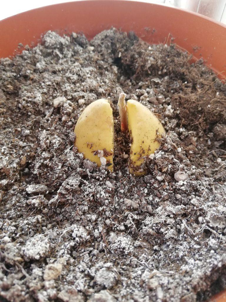 Avokado yetiştirme