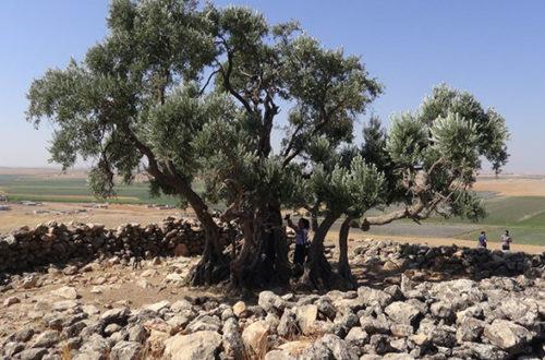 2 bin yaşında zeytin ağacı