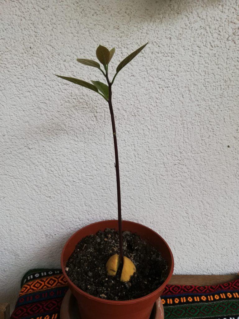 Avokado çimlendirme - Doğanın Takvimi