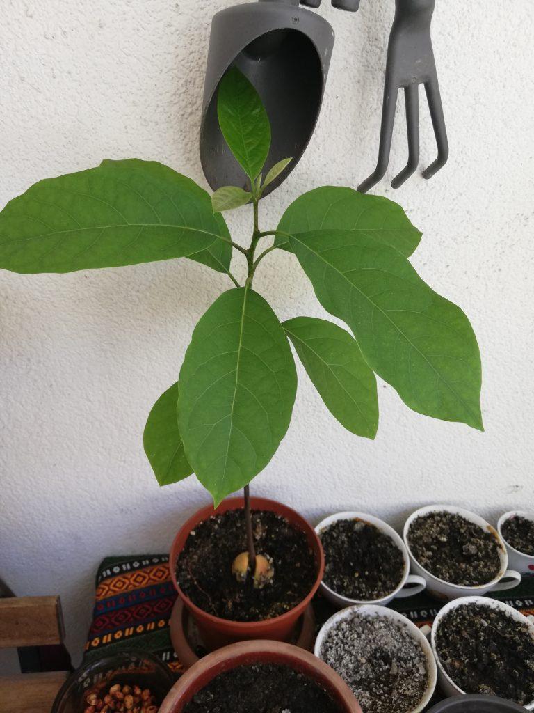Evde avokado yetiştirme - Doğanın Takvimi