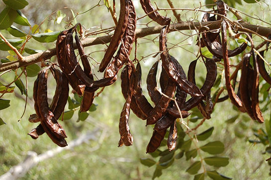 Keçiboynuzu ağacı -Doğanın Takvimi