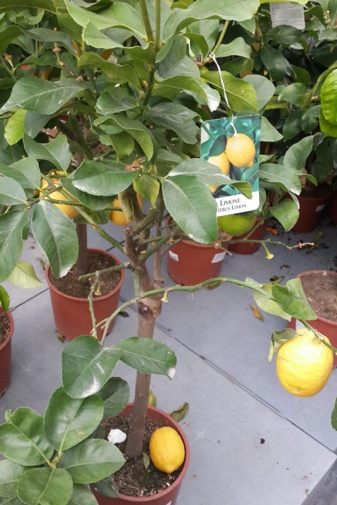 Limon fidanı