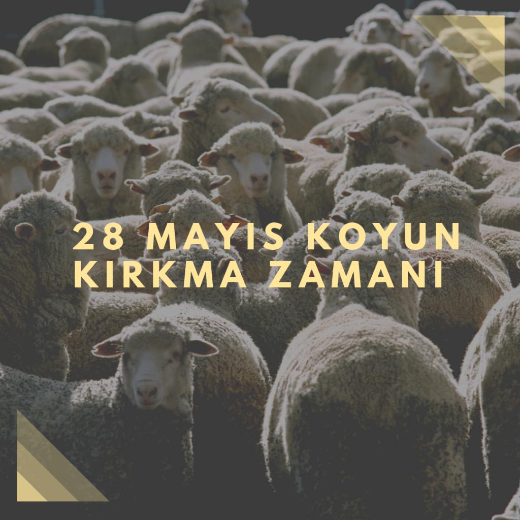 28 Mayıs - Koyun Kırkma Zamanı - Doğanın Takvimi